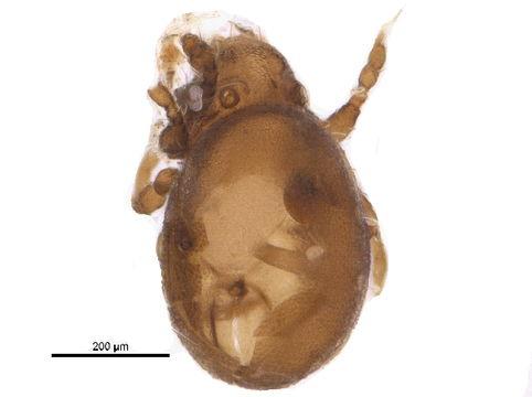 Image of Hermanniellidae
