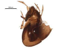Image of Ceratozetes