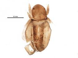 Image of Synichotritiidae