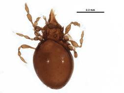 Image of <i>Rhinosuctobelba dicerosa</i> Woolley & Higgins 1969