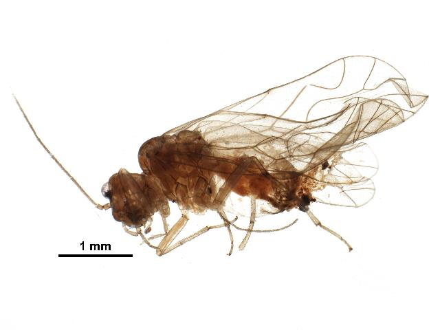 Image of <i>Elipsocus</i>