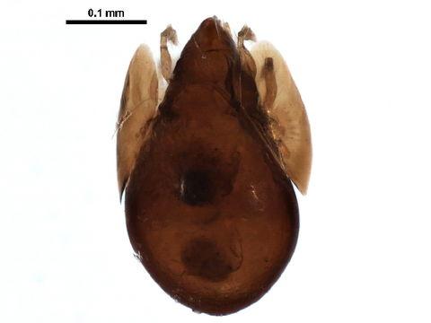Image of <i><i>Neoribates</i></i> (Neoribates) <i>quadrisetosus</i> (Ewing 1917)