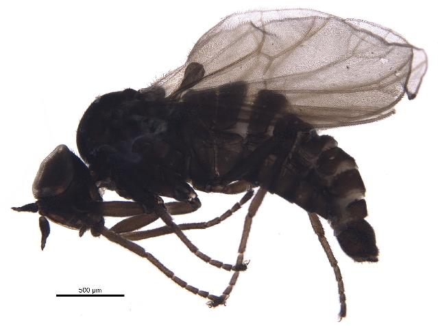 Image of Hilarimorpha