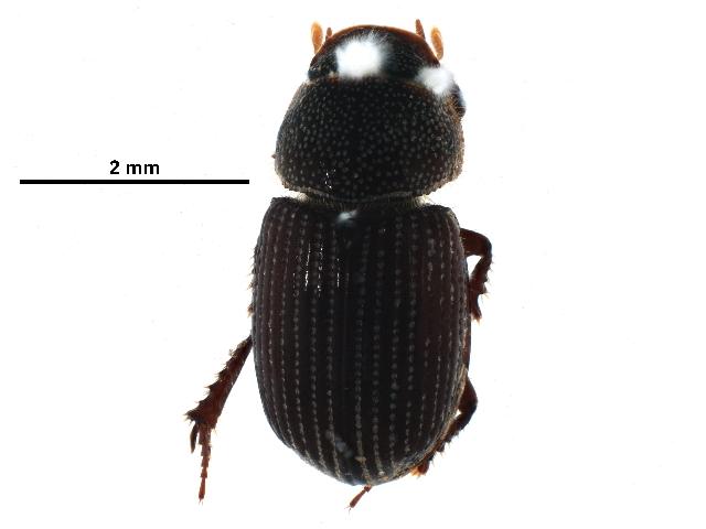 Image of <i>Aegialia lacustris</i> LeConte 1850