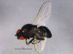 Image of Aphid fly