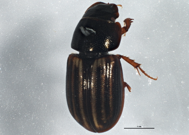 Image of <i>Liothorax alternatus</i> (Horn 1870)