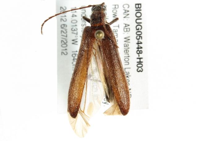 Image of <i>Calopus angustus</i> Le Conte 1851