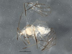 Image of <i>Boernerina occidentalis</i> Hille Ris Lambers & Hottes 1962