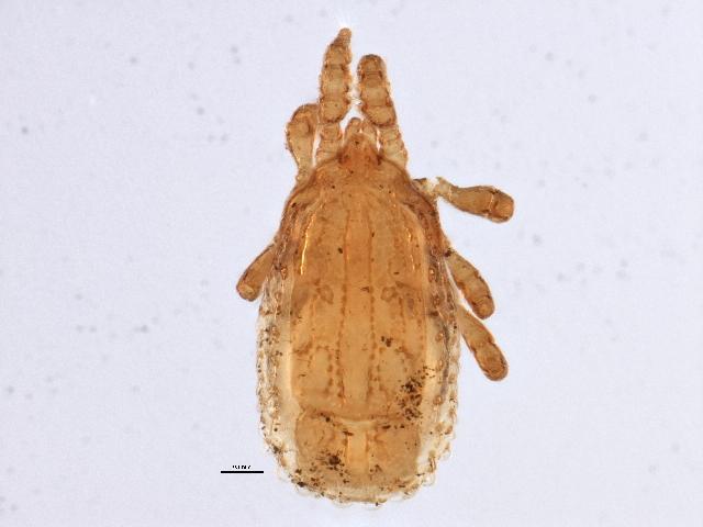 Image of Polyaspinus Berlese 1916
