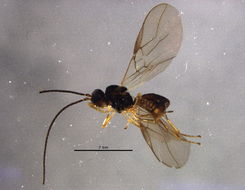 Image of Apodesmia Foerster 1862