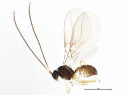 Image of Dapsilarthra