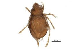 Image of Gymnodamaeidae