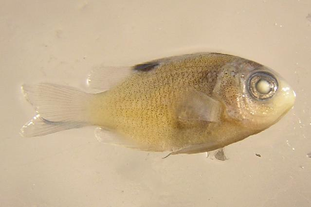 Image of Honey Damselfish