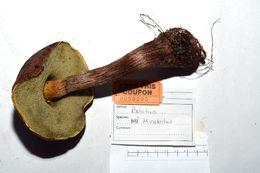 Image of Boletellus