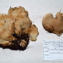 Image of Bondarzewiaceae