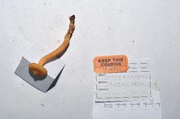 Image of Chroogomphus