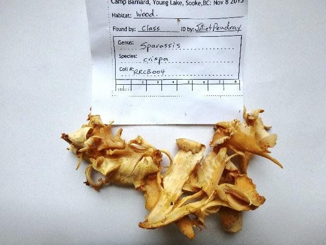 Image of Sparassidaceae