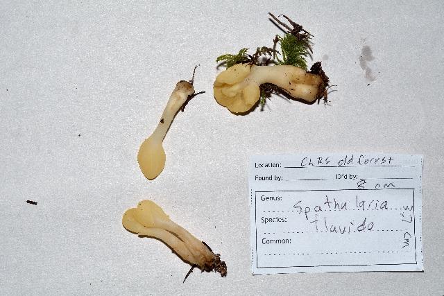Image of Cudoniaceae