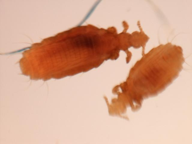 Image of <i>Hoplopleura acanthopus</i> (Burmeister 1839)