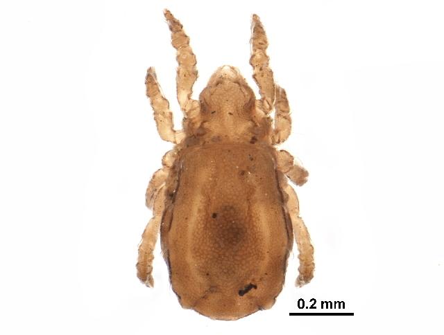 Image of Nothrus cf. anauniensis