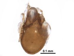 Image of Tectoribates
