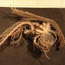 Image of <i>Hathrometra sarsii</i>