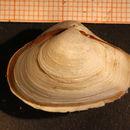 Image of <i>Thracia convexa</i> (W. Wood 1815)