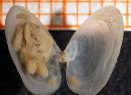 Image of European spoon clam