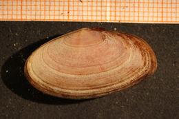Image of <i>Gari tellinella</i> (Lamarck 1818)