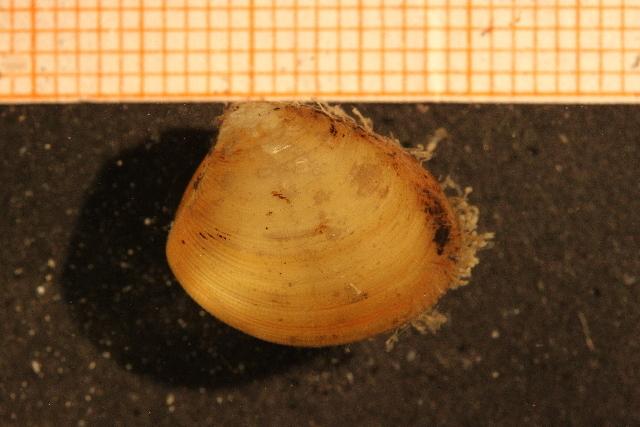 Image of furrowed nutclam