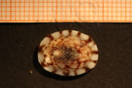 Image of Atlantic Plate Limpet