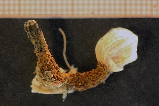 Image of <i>Edwardsia tuberculata</i> Dueben & Koren 1847