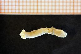 Image of worm anemone