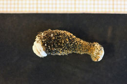 Image of <i>Halcampa chrysanthellum</i> (Peach ex Johnston 1847)