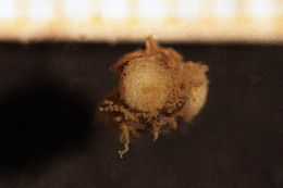 Image of Chocolate tiny anemome