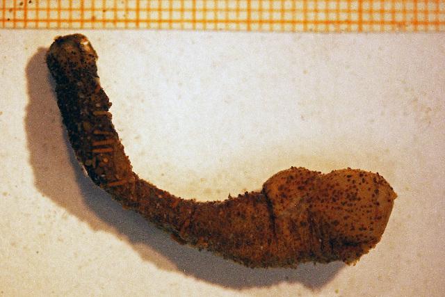 Image of <i>Peachia cylindrica</i> (Reid 1848)