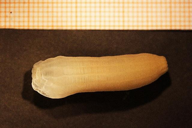 Image of <i>Peachia hastata</i> Gosse 1855