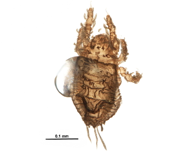 Image of Neoliodidae
