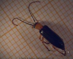 Image of <i>Eobia bicolor</i>