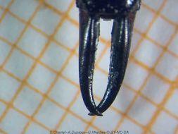Image of black earwigs