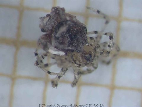 Image of Wall spiders