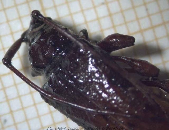 Image of Plumeria borer