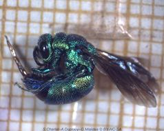 Image of <i>Chrysis angolensis</i>