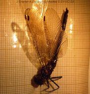 Image of <i>Hemicordulia oceanica</i> Selys 1871