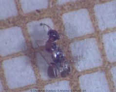 Image of Bark lice