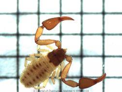 Image of Cheliferidae
