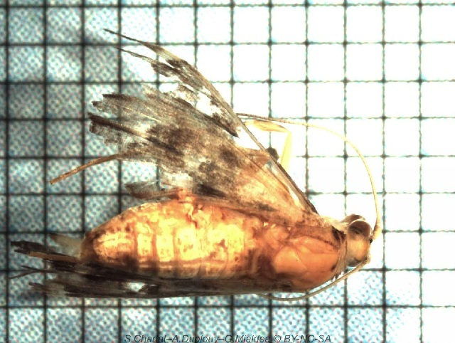 Image of <i>Piletocera signiferalis</i> (Wallengren 1860)
