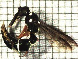 Image of <i>Parodynerus bicinctus</i> (Fabricius 1781)