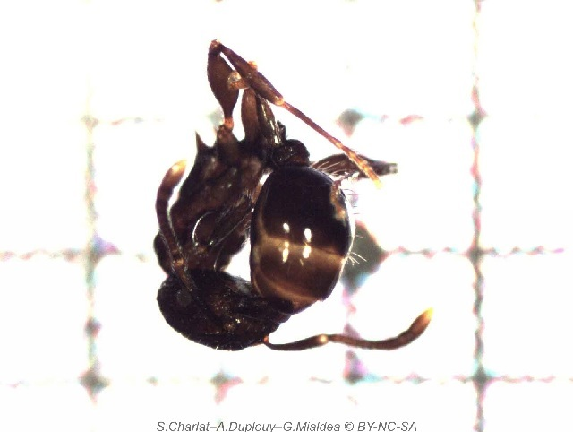 Image of <i>Tetramorium pacificum</i> Mayr 1870