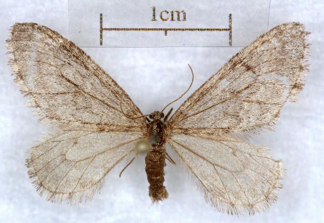 Image of Malacodea